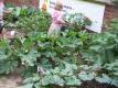 Kohlrabi hat nur wenig von dem typischen Kohlgeschmack und schmeckt stattdessen leicht süßlich und mild. Auch die Blätter von Kohlrabi haben wertvolle Inhaltsstoffe.