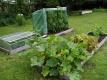 Zuchini und Tomatenpflanzen mit